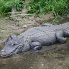 Alligator Farmers Push Meat to Mass Market with Climbing Profits
