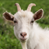 Goat Farming on the Rise as Americans' Appetite for Cheese Increases