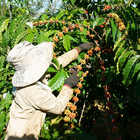 Ugandan Government Aims to Increase Coffee Production, Consumption