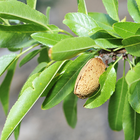 CA Almond Board Invests in Irrigation, Honey Bee Health Research