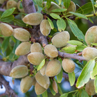 Green Almonds Find Niche Specialty Market
