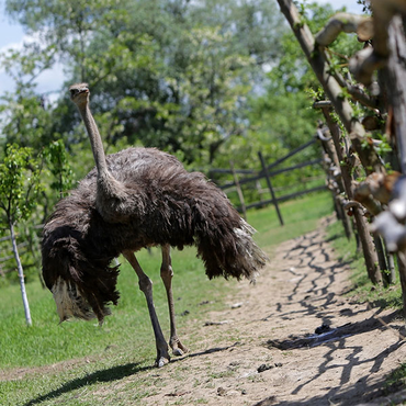 Could Ostrich Replace Red Meat?