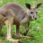 Kangaroo: Australia's Sustainable, Profitable Alternative Meat