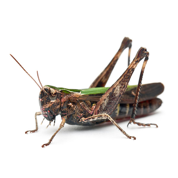 Edible Insects Market to Exceed $522M by 2023